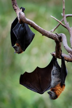 Pteropus poliocephalus - Gray-headed Flying Fox in the evening, fly away from day site