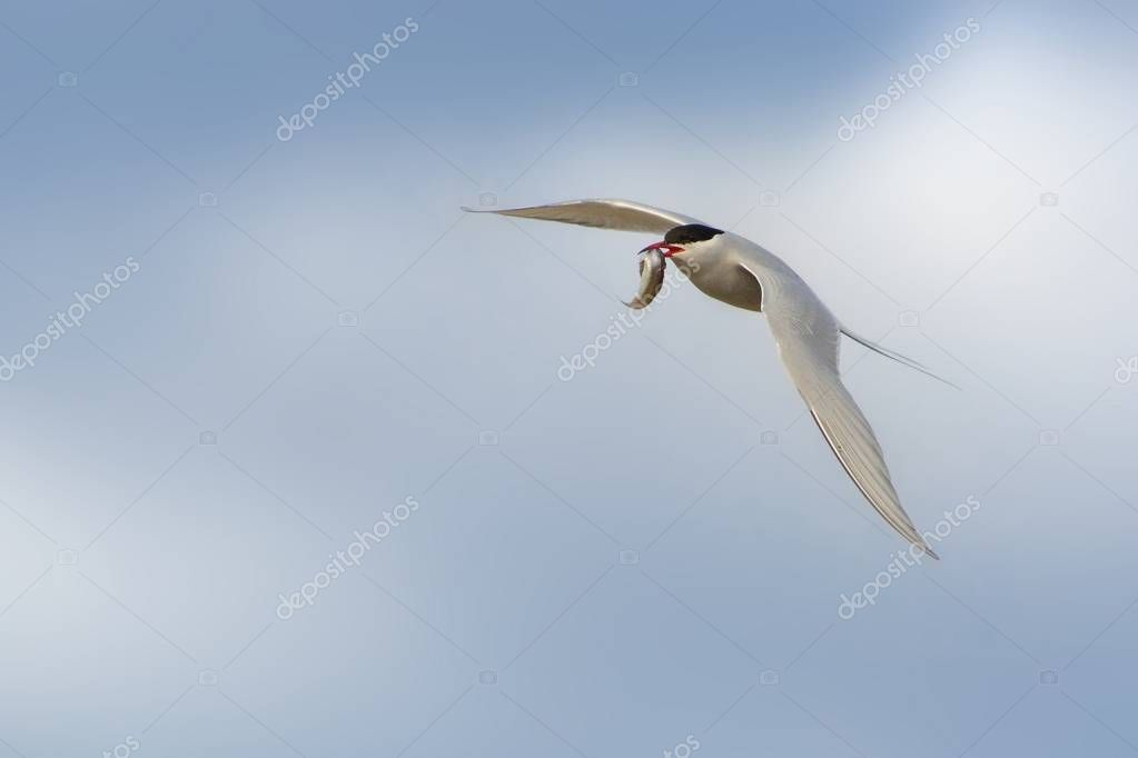 Flying Arctic tern - Sterna paradisaea - with hunted fish