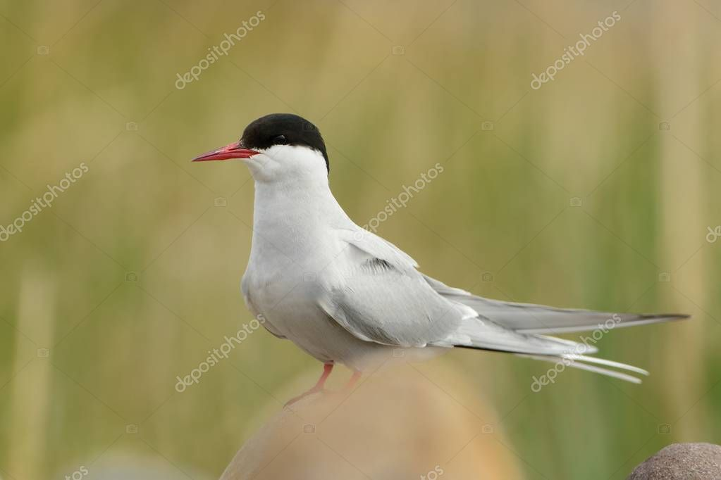 Arctic Tern - Sterna paradisaea sitting in the stone beach in Norway