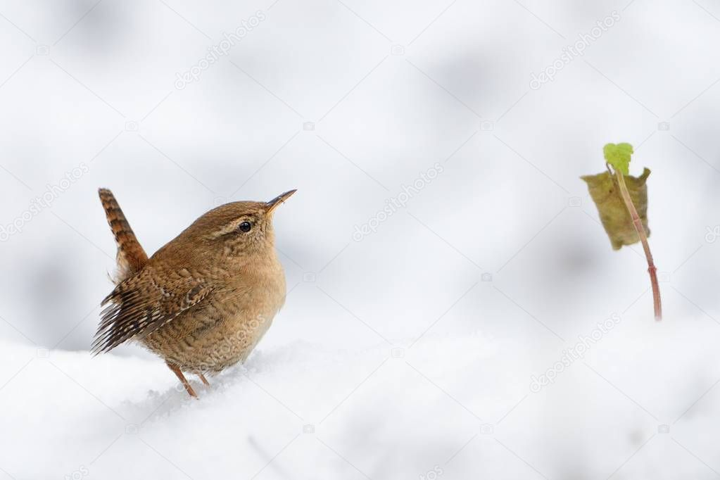 Eurasian Wren (Troglodytes troglodytes) standing on the branch with snow. Winter picture with cute little bird on the snow