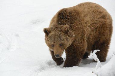 "Картина, постер, плакат, фотообои ""бурый медведь - ursus arctos на снегу зимой животные природа"", артикул 253701132"