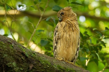 Buffy Fish Owl - Ketupa ketupu known as the Malay fish owl, is a species of owl in the family Strigidae