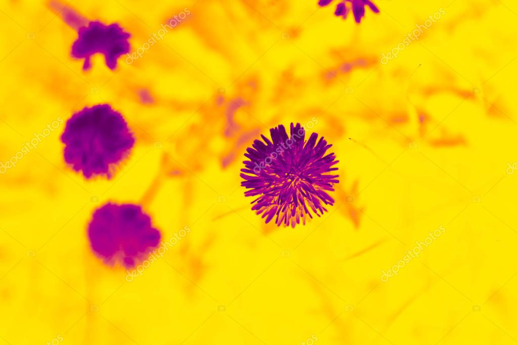 Duotone effect magenta and yellow for toning photos with flowers. concept