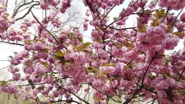Růžový sakura květ, Třešeň květ, Himálaj třešeň květ kymácející se ve větru detailní pozadí