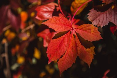 Autumn red leaves with narrow depth of field