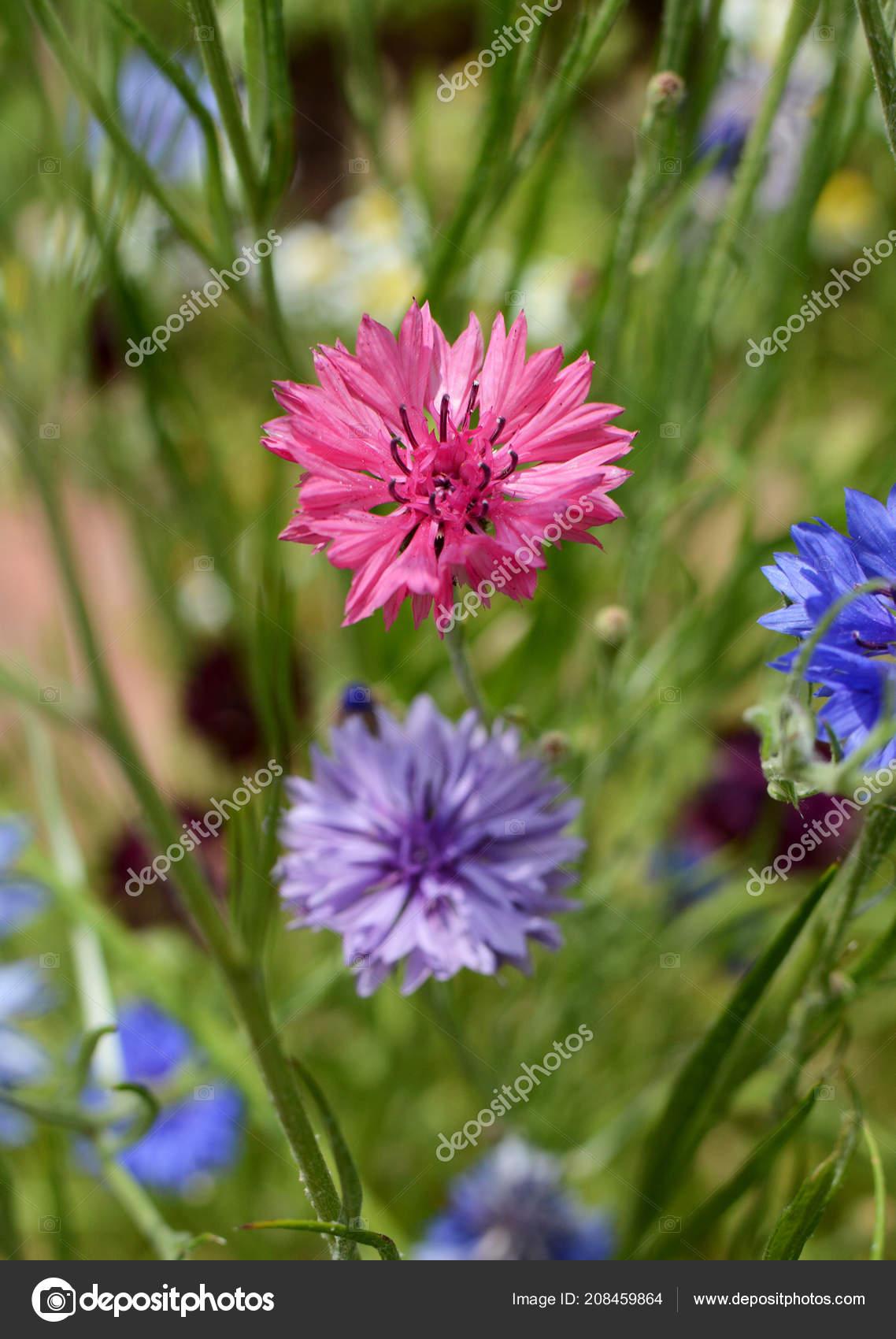 Vivid Pink Cornflower Bachelors Button Blue Purple Blooms Wild