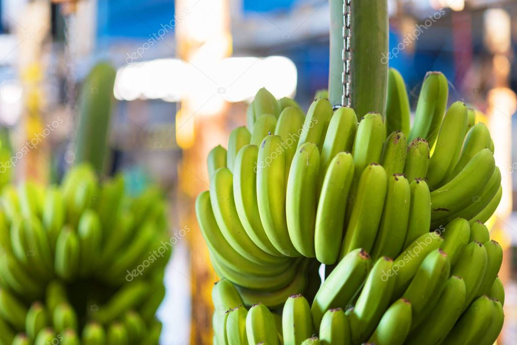 Bunches of banana in a packaging industry.