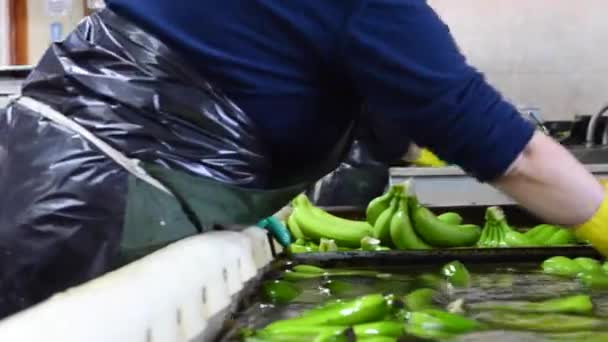 Operator washing bunches of banana at packaging plant.