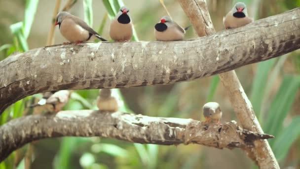 kleine niedliche Vögel, Finken Vögel auf dem Ast. Zeitlupenclip.