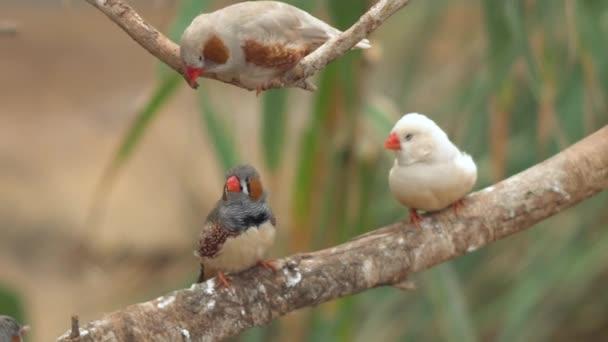kleine niedliche Vögel, Finken Vögel auf dem Ast. 4k-Clip.
