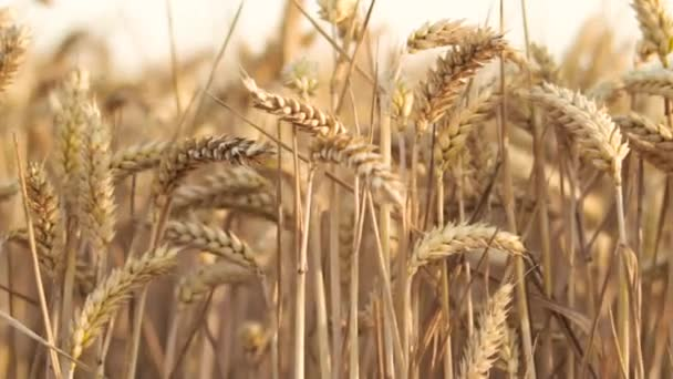 Wheat Field. Ears of wheat close up. Harvest concept. Field of golden wheat swaying. Nature landscape.