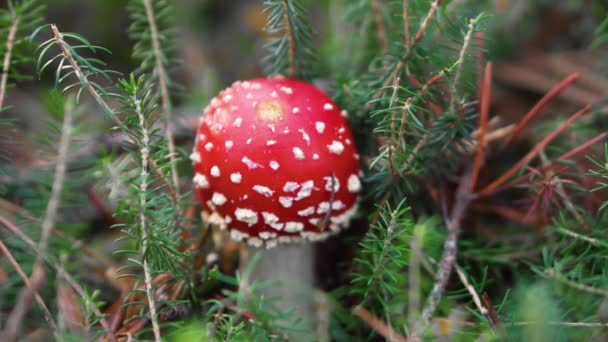 Amanita Muscaria, mérgező gomba a természetes erdő hátterében.
