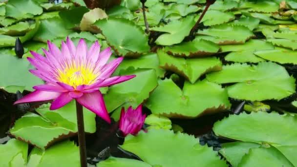 Růžový lotos na vodě v mírném větru