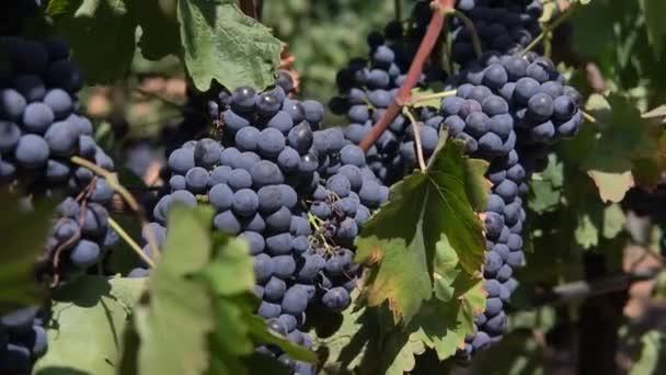 výstřel z červených hroznů na vinici