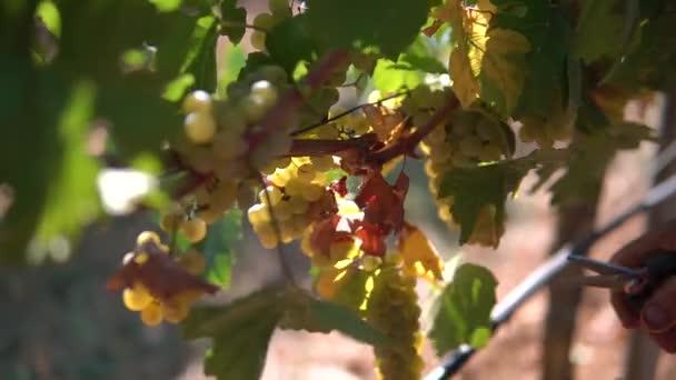 sklizeň hroznů na vinici pracovníkem