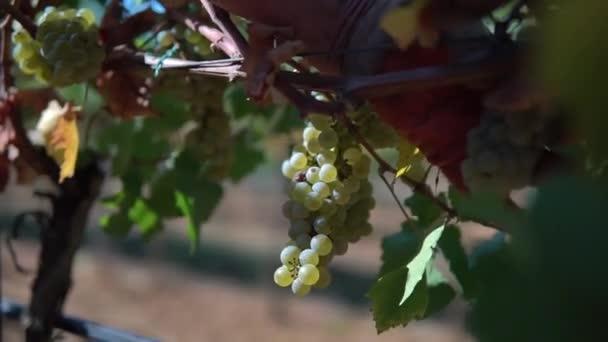 Rukou pracovníka sběr hroznů na vinici, sklizeň na vinici