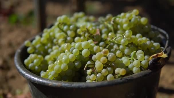 Plechovka bílých hroznů na vinici