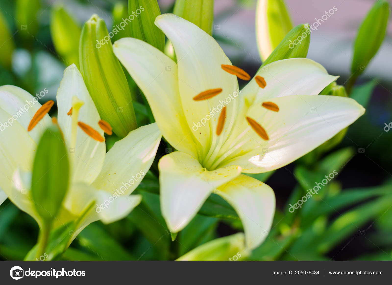 Beautiful Flowers White Lily Green Garden Bouquets Lilies Stock
