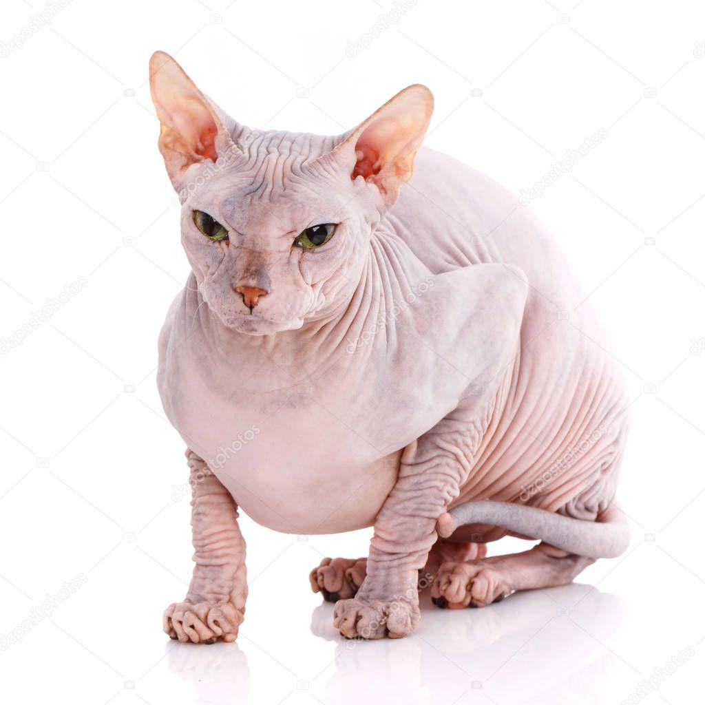 Plešatý kočička nahá