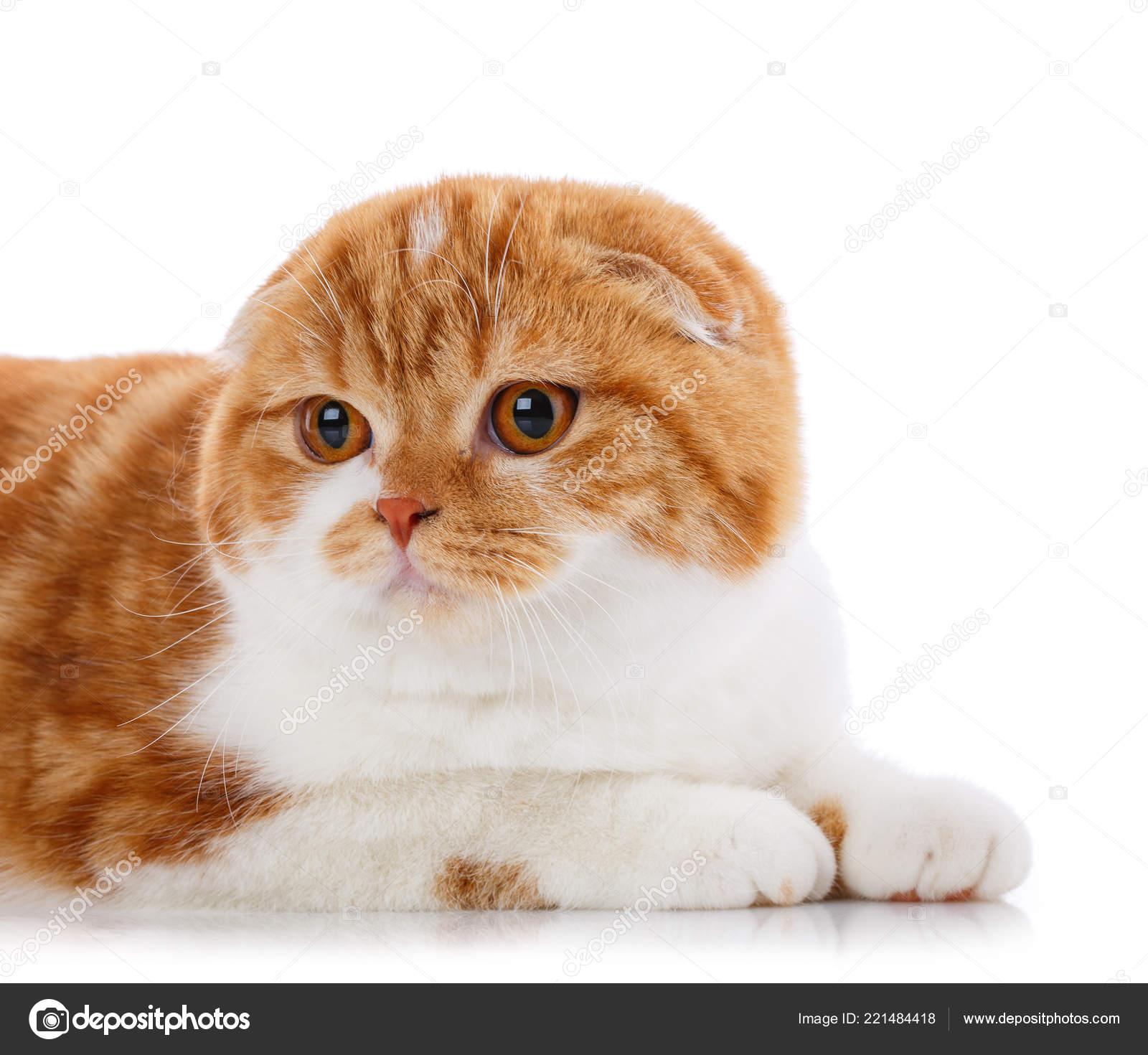 Concetto Di Animali Domestici Animali E Gatti Gatto Di Razza