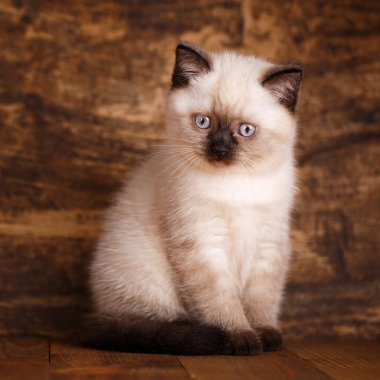 Scottish straight cat cream color. Lovely fluffy kitten