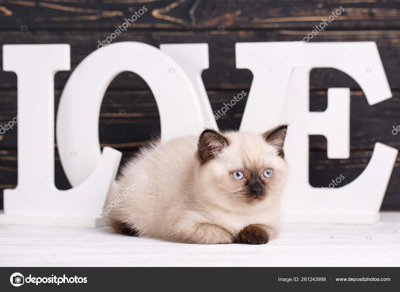 Scottish straight cat cream color  Scottish purebred kitten