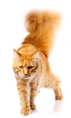 Red Maine Coon, 7 months old, on white background, studio shot stock vector