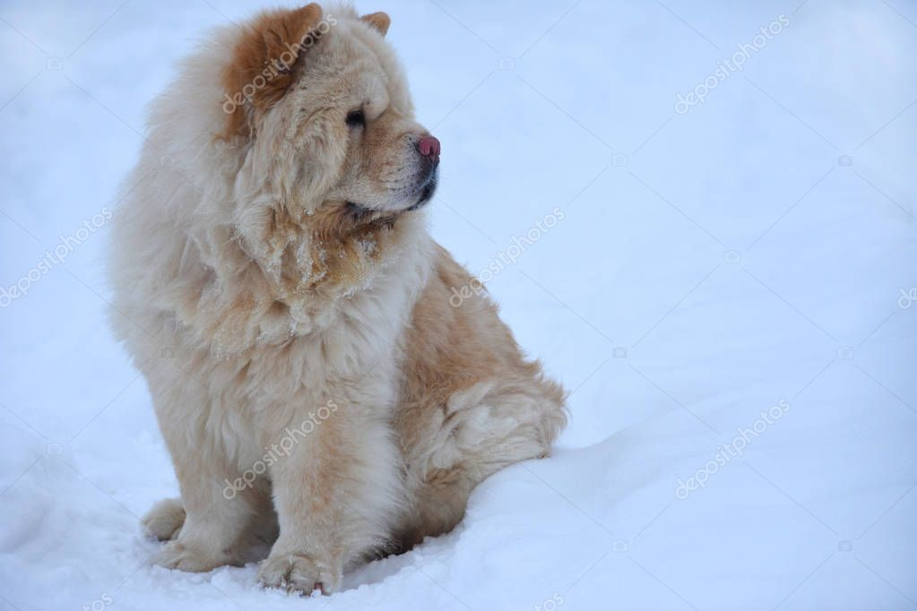 A chow-chow dog sits on the snow and looks away