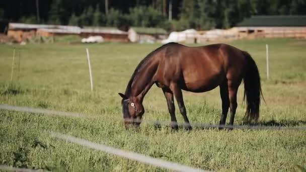 Portrét hnědého koně pasoucí se na trávě na pastvině