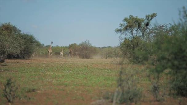 Stádo žiraf běží jeden po druhém přes pole za slunného dne v Africe. Zvířata ve volné přírodě
