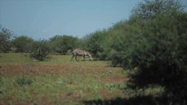 Stádo zeber následuje jeden druhého přes pole za slunného dne v Africe. Zvířata ve volné přírodě