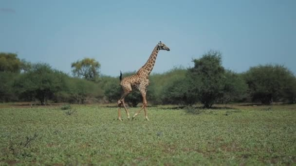 Krásná krajina, žirafa, chůze, běh na zelené louce v Africe za slunečného dne