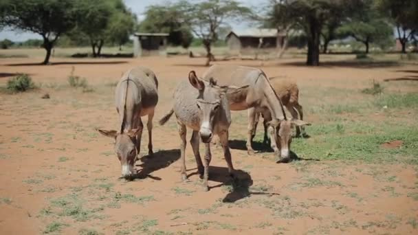 Quattro asini al pascolo su un campo in Africa in giornata di sole estivo, che mangia erba