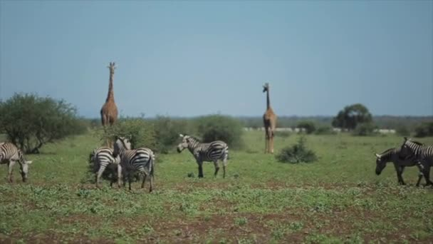 Wild animals in nature. Zebras and giraffes walk across the field in hot summer day in Africa.