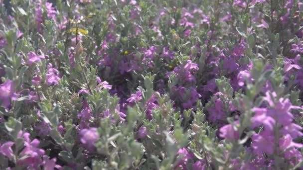 Flowering bush with small flowers of lilac color