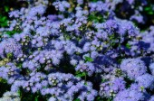 Photo Beautiful blue flowers ageratum in the garden.