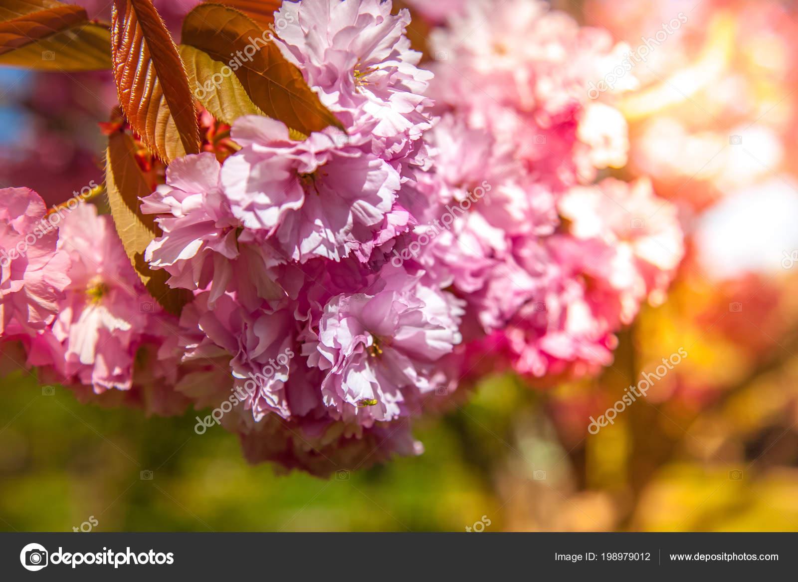 mise point sélective toile fond magnifique sakura arbre fleur