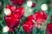 pohled z červené tulipány a slunečního záření pozadí na plochu