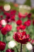 Fotografie close up view of red tulips and sunlight background