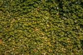 Fotografia telaio completo di edera verde lascia la priorità bassa