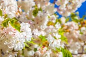 Fotografie close up view of cheery tree blooming flowers background