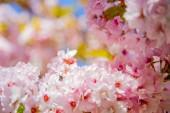 Fotografie selective focus of beautiful cherry tree blossom backdrop