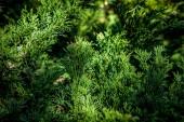 zblízka pohled na krásné zelené thuya rostlin
