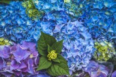 close up view of beautiful blue hortensia flowers