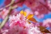 pohled krásné sakura stromu květ pozadí na plochu