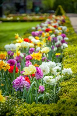 close up view of beautiful colorful ranunculus flowers in park