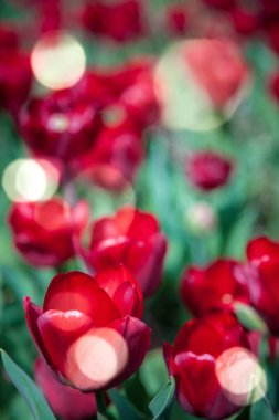 Close up view of red tulips and sunlight background stock vector