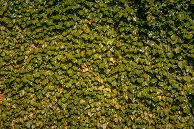 full frame of green ivy leaves background
