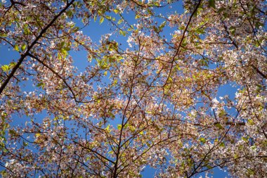 close up view of blooming cherry tree against blue sky