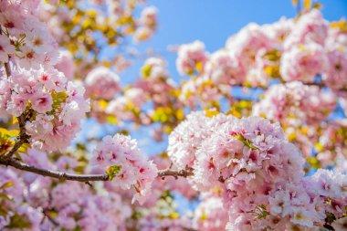 Selective focus of beautiful sakura tree blossom against blue sky backdrop stock vector